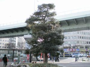 もっこくの木