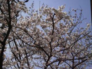 桜も六分咲き・・・なのに何故かもの哀しい・・・